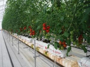 ミディトマトの収穫が始まりました!